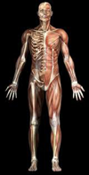 Muscles and Skeleton - Front